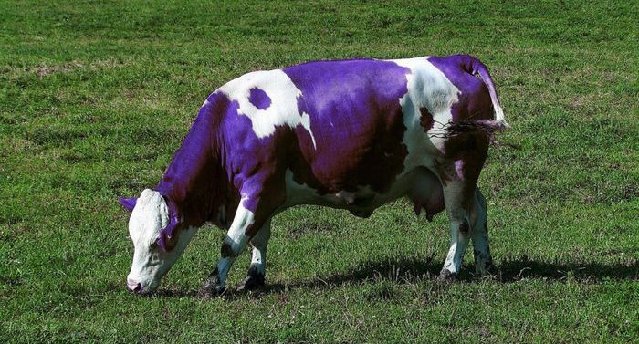 purple-cow-infobunny